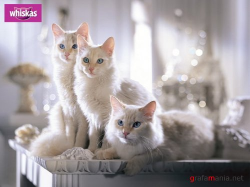 Wallpapers - Cats and lady-cats Pack#4
