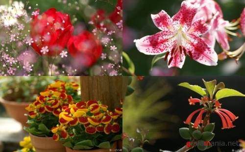 Flowers WideScreen Wallpapers #3