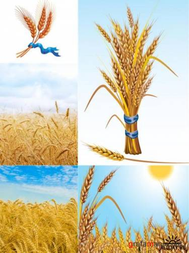 Wheat photos and illustrations