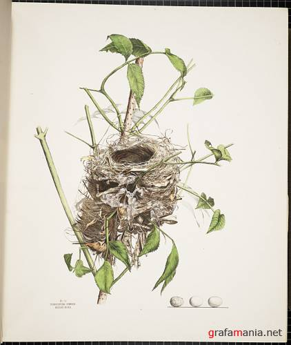 Jones Family - Illustrations of the Nests and Eggs of Birds of Ohio (1879-1886)