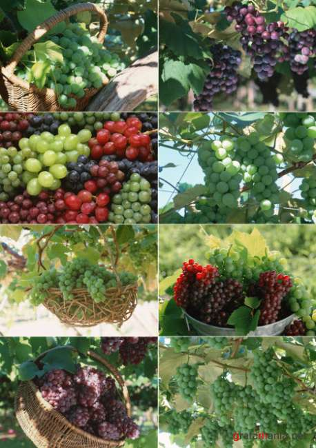 Клипарт – Виноград  Klipart – Grape