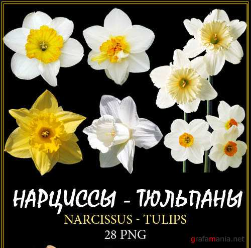 �������� - �������� / Narcissus - Tulips �� ���������� ����