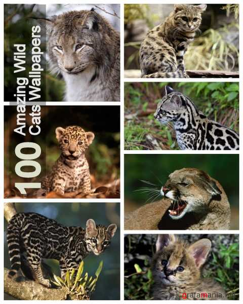 100 Amazing Wild Cats Wallpapers