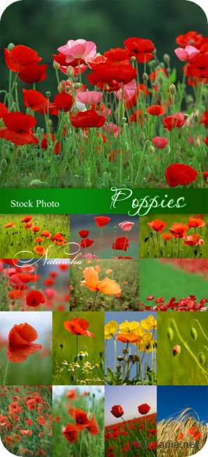 Stock Photo - Poppies