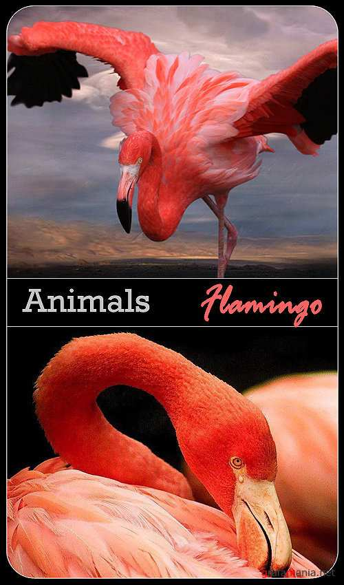 Animals - Flamingo / Фламинго