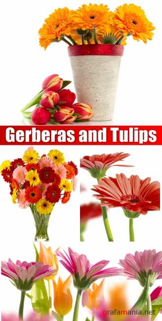 Gerberas and Tulips