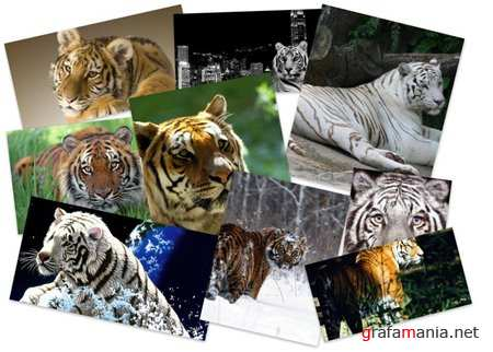 70 Beautiful Tiger Wallpapers