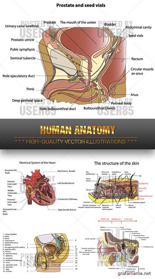 Stock Vector - Human Anatomy
