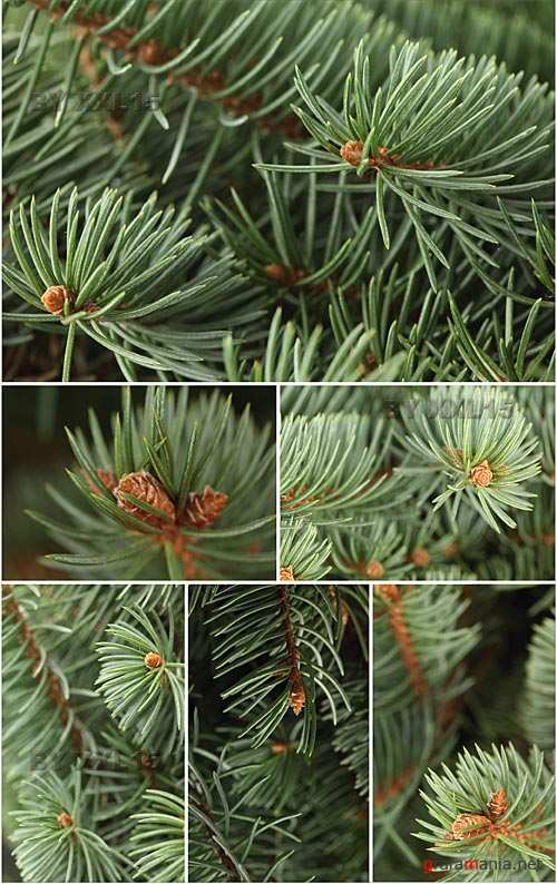 Stock Photos - Spruce branches