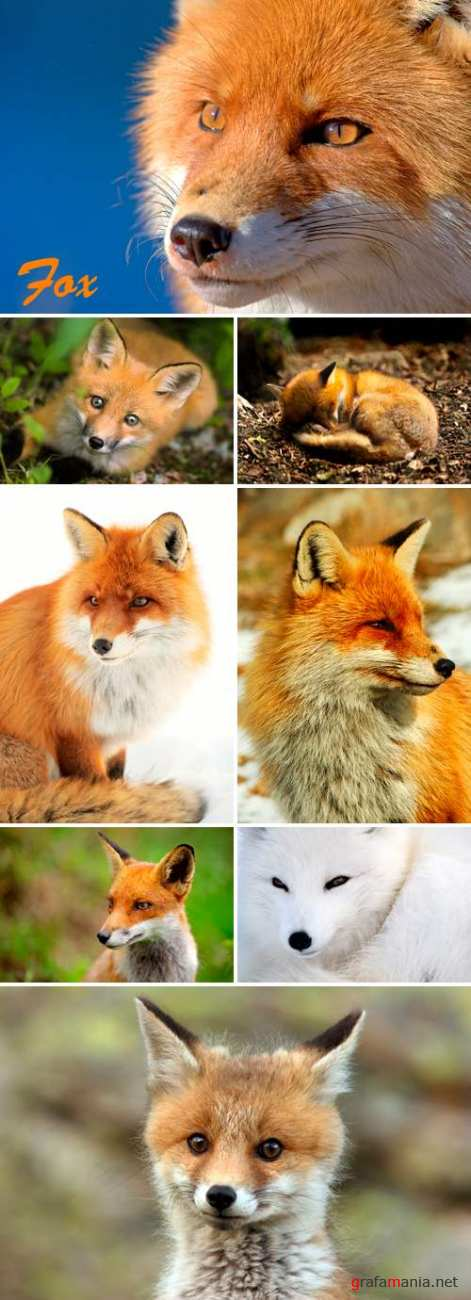 Stock Photo - Fox