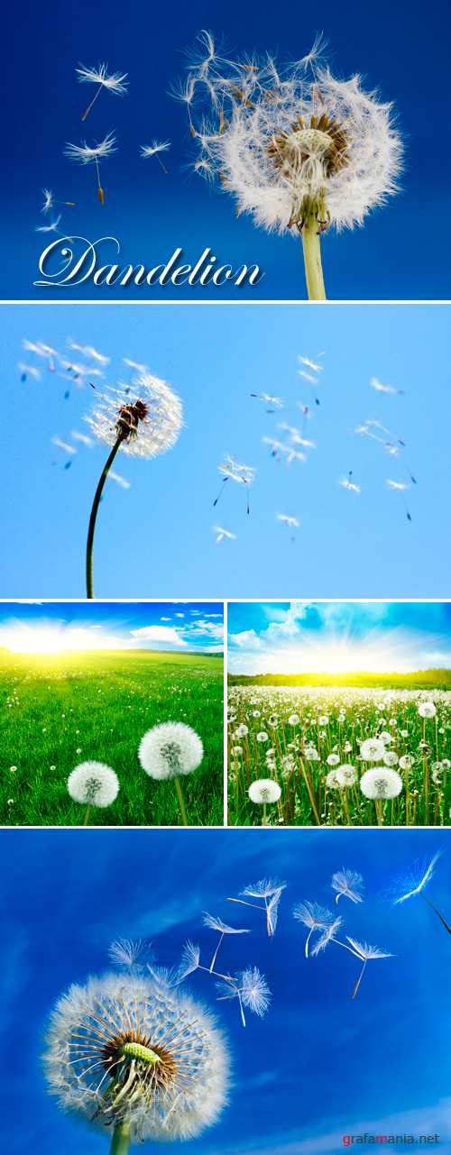 Stock Photo - Dandelions