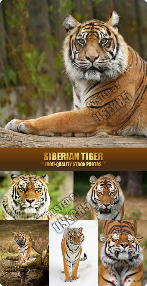 Stock Photo - Siberian Tiger