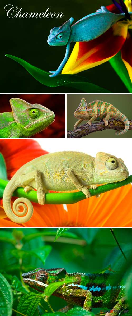 Stock Photo - Chameleon