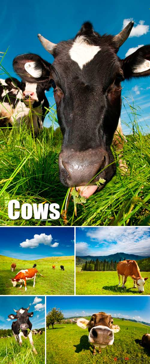 Stock Photo - Cows