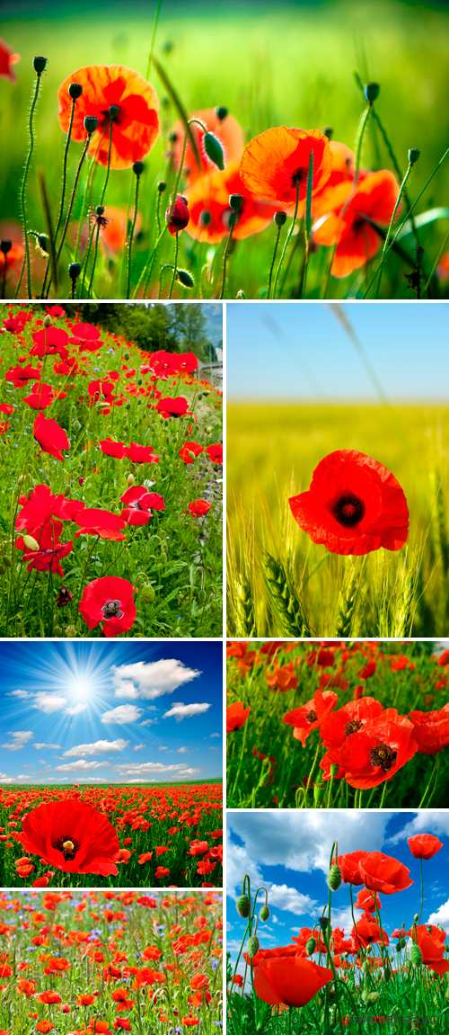 Stock Photo - Red Poppy