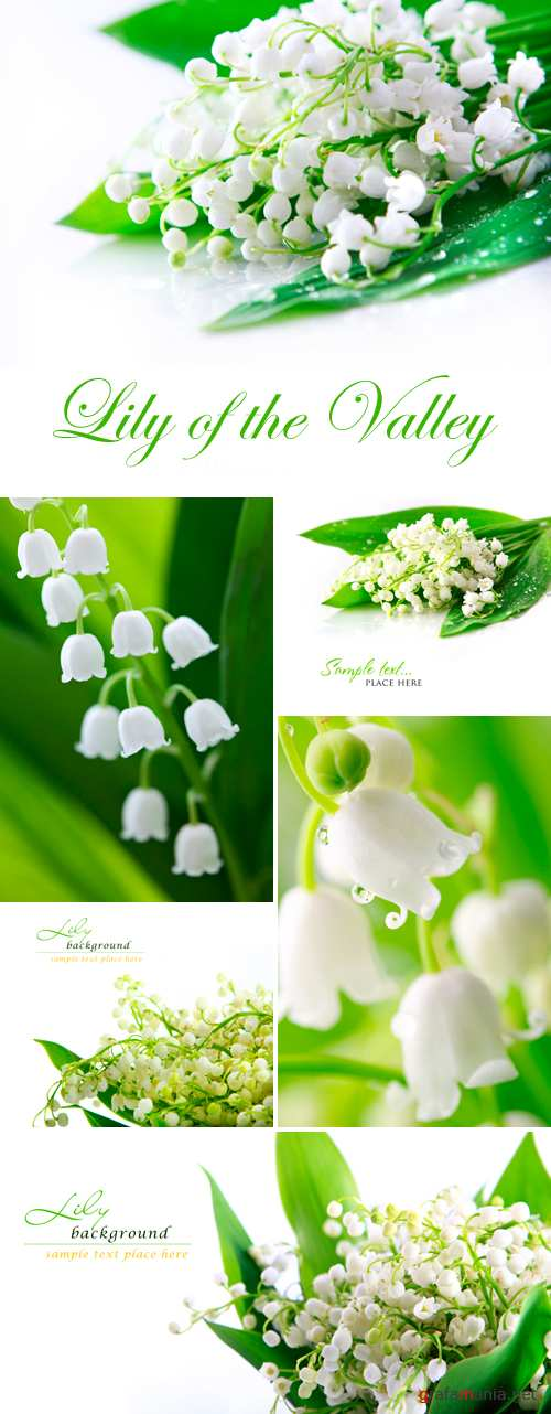 Stock Photo - Lily of the Valley