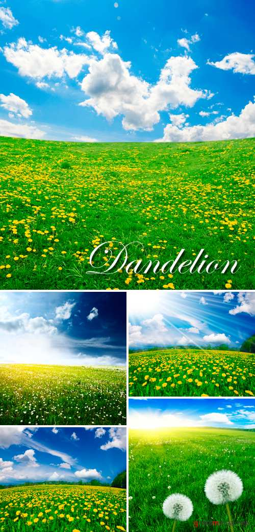 Stock Photo - Dandelion Field