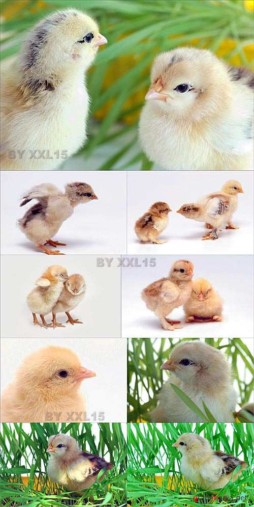 Stock Photo - Cute Chickens