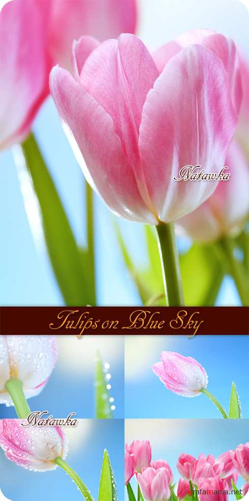 Тюльпаны. Tulips on Blue Sky - Stock Photos