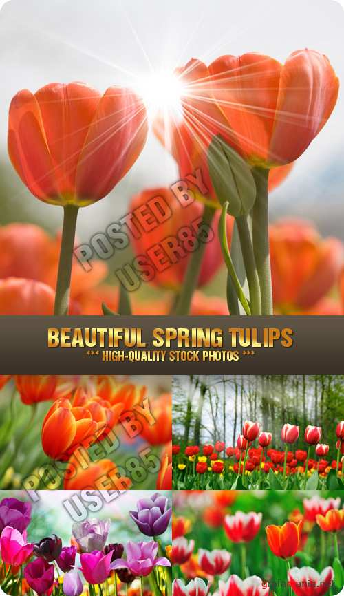 Stock Photo - Beautiful Spring Tulips