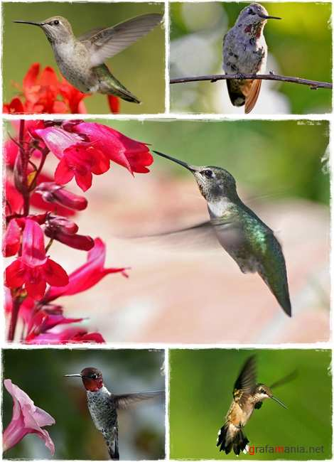Wallpapers - Hummingbird Pack