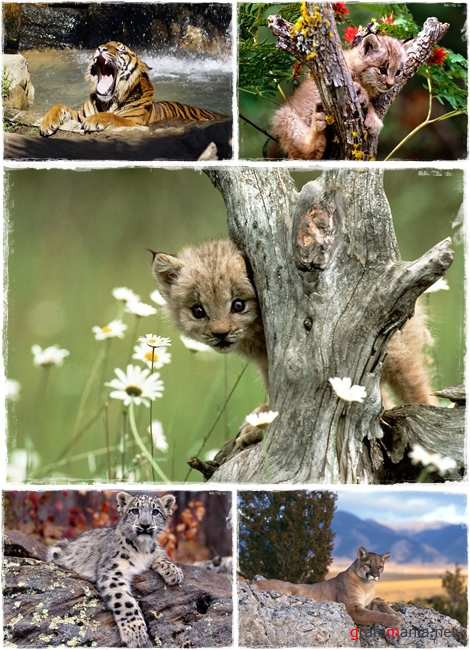 Wallpapers - Wild Cats Pack#2