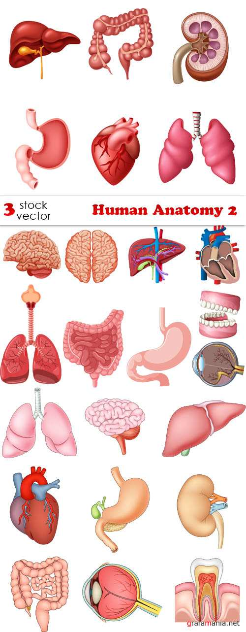 Vectors - Human Anatomy 2