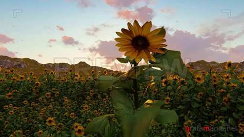 MA - Field of Sunflowers During Sunset 73176