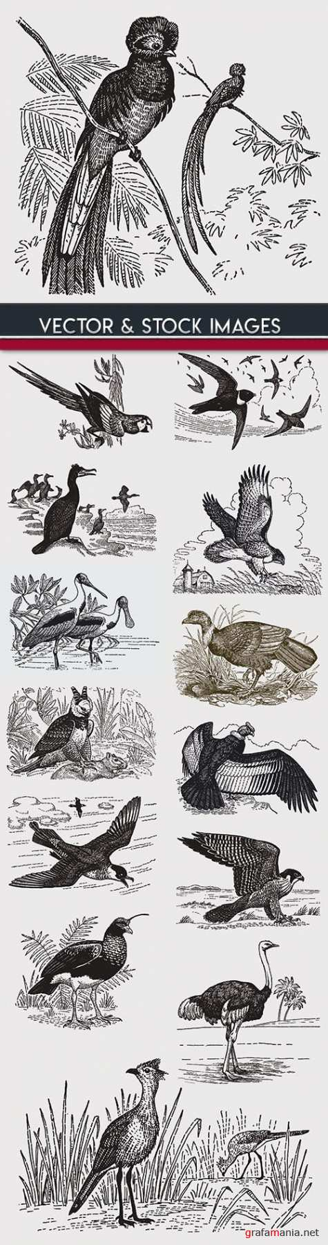 Birds drawn engravings in vintage style