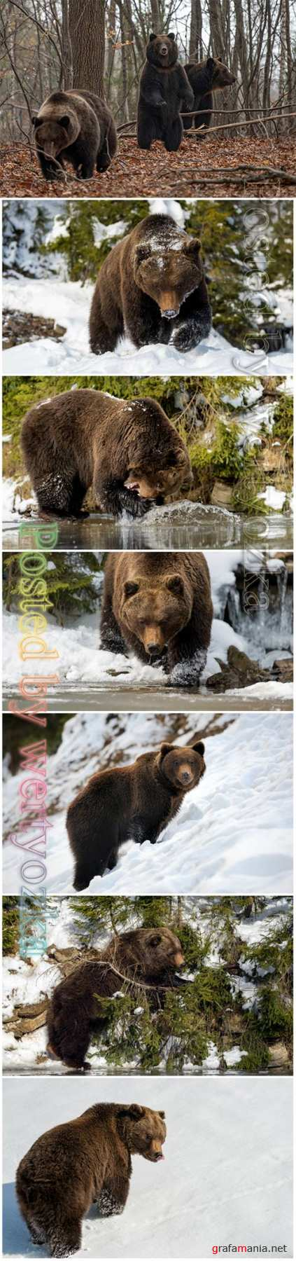 Wild brown bear beautiful stock photo